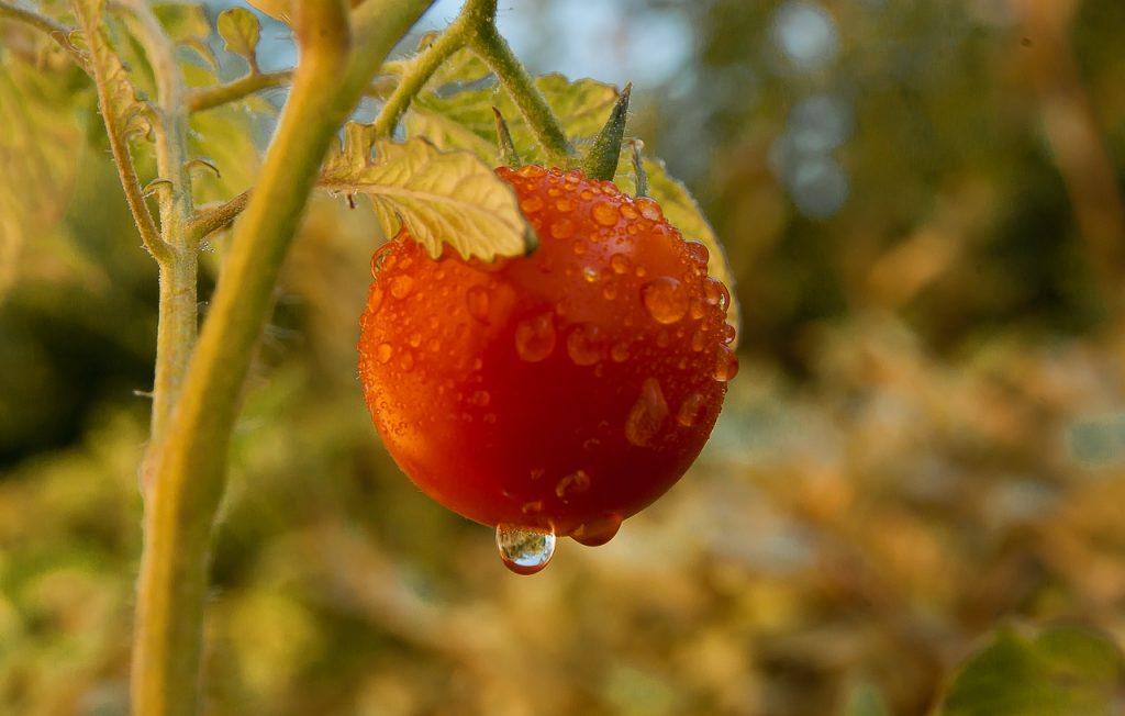 Watering tomato garden